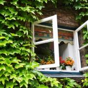 Des plantes grimpantes sans prise de tête: l'aristoloche