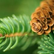 4 différents usages futés du pin