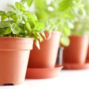 Conseils pour cultiver vos propres herbes médicinales