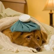 Comment traiter la grippe et le rhume chez le chien?
