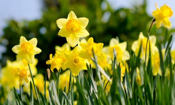 6 recommandations pour faire pousser de jolies jonquilles - Fleurs qui poussent a l ombre ...