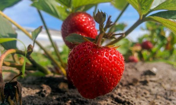9 conseils pour faire pousser des fraises sucr es en abondance trucs pratiques. Black Bedroom Furniture Sets. Home Design Ideas
