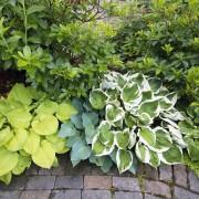 5 conseils pour planter et cultiver les hostas
