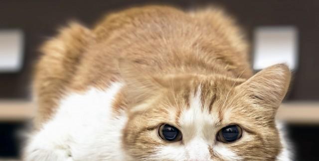 Pourquoi mon chat boite-t-il?