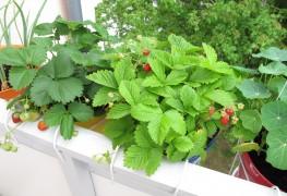 conseils pour cultiver les fraises et les tomates trucs pratiques. Black Bedroom Furniture Sets. Home Design Ideas