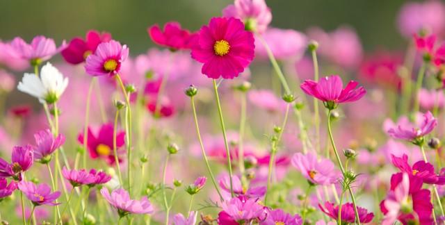 Ce qu'il faut savoir sur la culture des fleurs cosmos