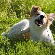 Solutions maison pour repousser les puces de chien