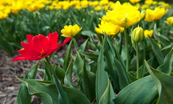 Comment planter et propager des bulbes de fleurs trucs pratiques - Comment planter des dahlias ...