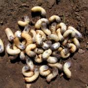 Premiers soinspour votre pelouse: les larves