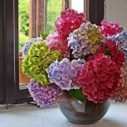 5 variétés d'hortensias à mieux connaître