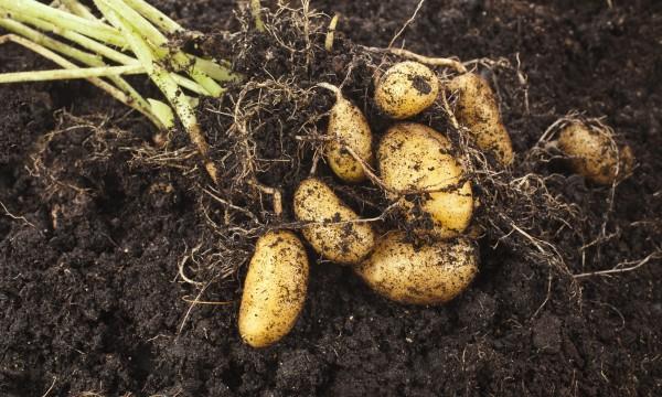 conseils pour cultiver des patates douces et des pommes de terre trucs pratiques. Black Bedroom Furniture Sets. Home Design Ideas