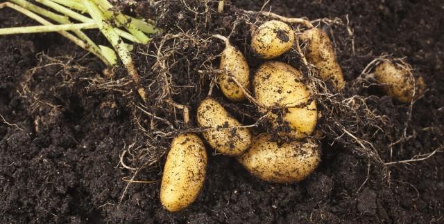 3 conseils pour cultiver une vigne de patates douces