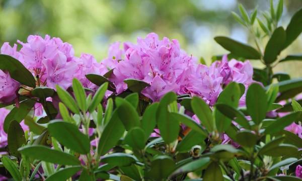 8 Astuces Pour Cultiver Azalées Et Rhododendrons | Trucs Pratiques