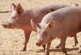 Comment tirer le meilleur parti d'un élevage de porcs