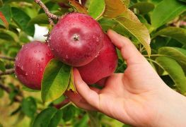The best apple picking spots near Montreal