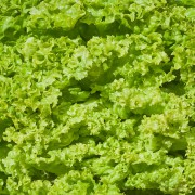 Vegetables for vitality: lettuce