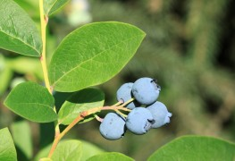 Blueberry and cranberry: medicinal and culinary properties