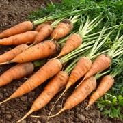 Green gardening: growing carrots