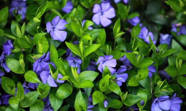 11 great garden ground covers