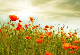 Easy poppy growing for lovely flowers and seeds