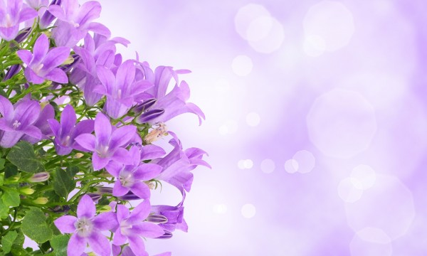 5 Easy Steps To Healthy And Colourful Campanula Smart Tips
