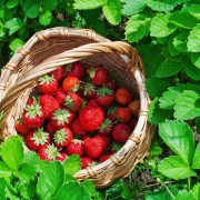 How to grow raspberries, strawberries and walnuts