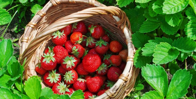 How to grow raspberries, strawberries and walnuts
