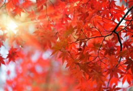 The Japanese maple: A sweet treat for any yard