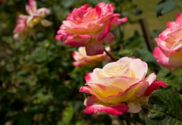 4 tips for growing glorious roses