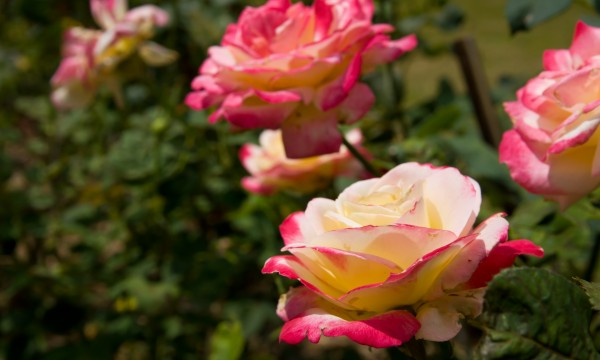 5 clear criteria for growing roses yourself