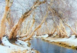 Care-free trees: The beloved river birch