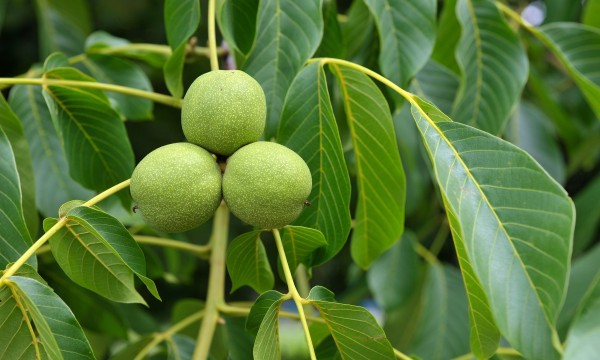 Discover the walnut tree: a surprising medicinal plant