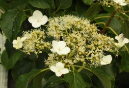 Grow a beautiful climbing hydrangea in 7 steps