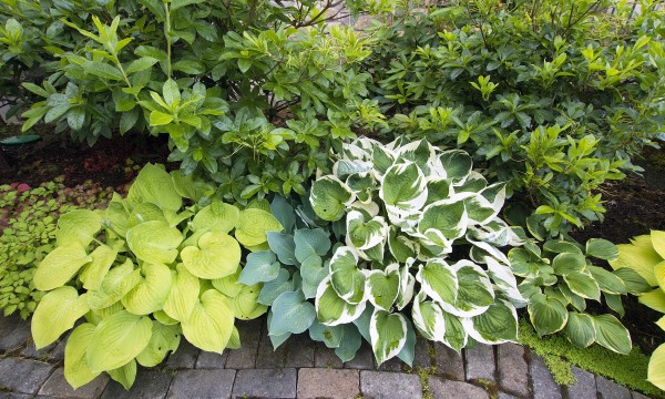 How To Plant And Care For Hostas Smart Tips