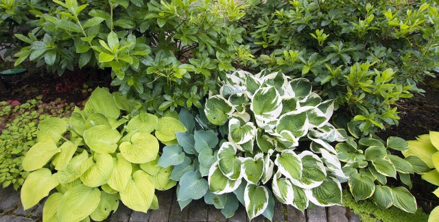 How to choose a hosta to grow in your garden