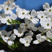 4 steps to growing a healthy, flourishing dogwood