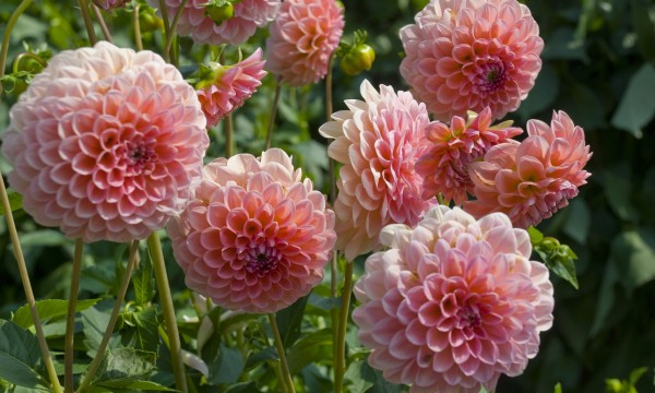 How to store dahlia tubers over the winter