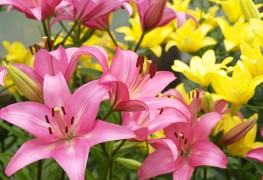 Quick tips for choosing and growing lilies