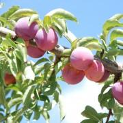 Creating a backyard orchard: the basics