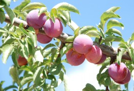 Creating a backyard orchard: the basics