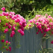 Care-free vines:  climbing rose