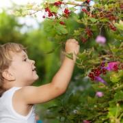 Green gardening: Growing currants