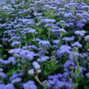 The easy way to plant and care for ageratum