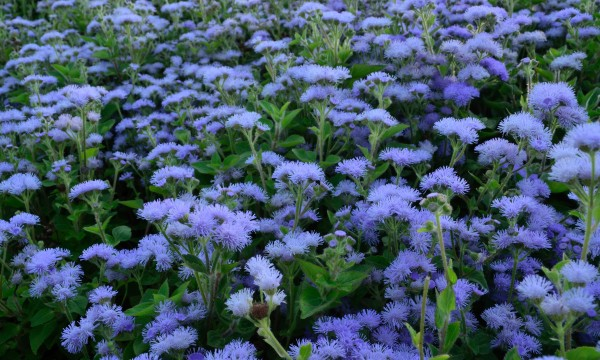 The easy way to plant and care for ageratum Smart Tips