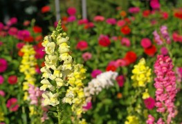 Beginner's tips for growing snapdragon