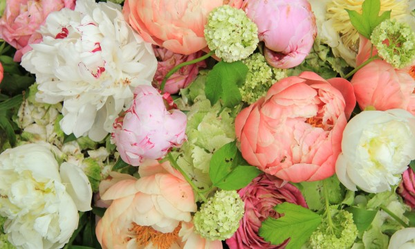Pointers for planting perfect peonies