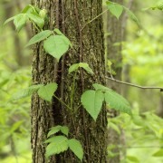 How to deal with poison ivy