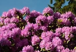 Care-free shrubs:  mountain laurel