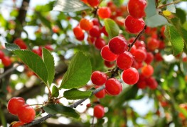 Care-free tips for growing serviceberries