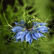 Care-free annuals:  love-in-a-mist
